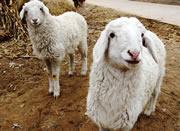 供应山东养殖场常年供应优质绒毛羊