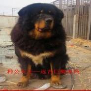 尹桂林纯种精品藏獒图片