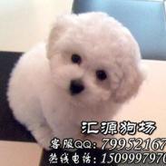 惠州哪里有卖比熊图片