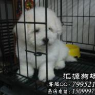 肇庆哪里有卖比熊图片
