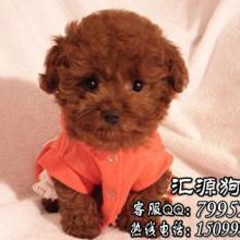 广州哪里有卖泰迪熊,泰迪熊多少钱?