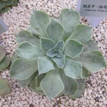 供應景天科植物與眾不同的光合作用圖片