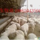 18865043566哪里有卖小尾寒羊的?什么地方卖质量好的种羊?
