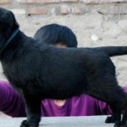 拉布拉多犬怎么样导盲犬拉布拉多图片