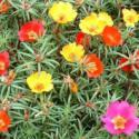 半枝莲种子图片