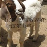 波尔山羊的养殖前景图片