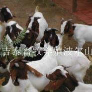 波尔山羊的养殖利润图片