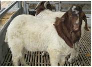 北京波尔山羊价格/北京波尔山羊场图片