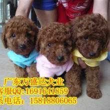 广州哪里有卖纯种健康茶杯泰迪 请到万盛达狗场挑选