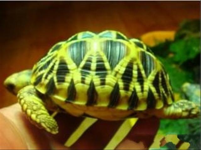 最大乌龟是什么样的-大头龟图片 大头龟样板图 大头龟 宁波鑫泰蛇龟生态养殖场