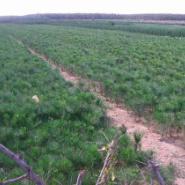 绿化苗木黑松200公分图片