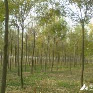 北京12公分白蜡树价格图片
