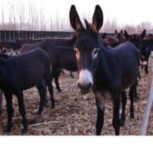 供应驴肉畅销-养驴生意红火-肉驴供应-德州驴养殖基地图片