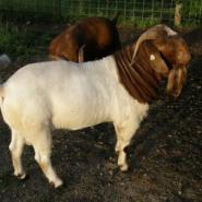 4个月波尔山羊-肉羊价格图片