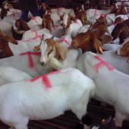 小尾寒羊市场价格-波尔山羊养殖图片