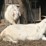 肉羊专供-白山羊养殖场图片