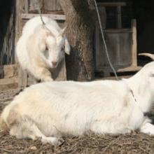 供应肉羊专供-白山羊养殖场-白山羊价格-隆祥养殖