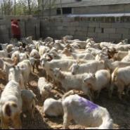 肉羊白山羊-羊的饲养管理要点图片