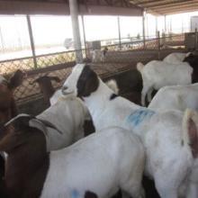 供应种羊波尔山羊-小尾寒羊出售-肉羊养殖场图片