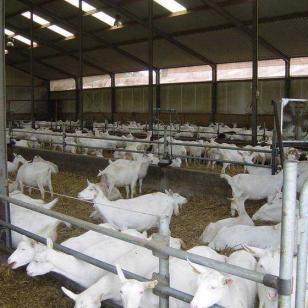 山东白山羊供应商-亚洲黄羊养殖场图片