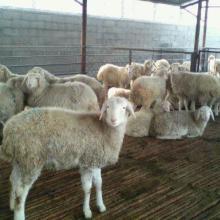 供应小尾寒羊养殖场效益分析批发