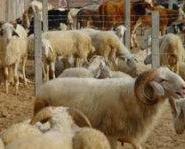 羔羊生产技术-波尔山羊供应商图片