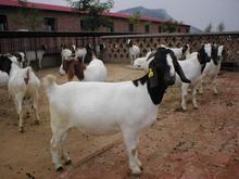 供应波尔山羊育肥羊白山羊肉羊养殖