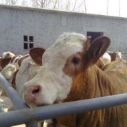三元杂交牛价格-畜牧局指定单位图片