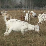 白山羊供应商-养白山羊利润大图片