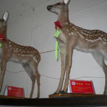 供应梅花鹿标本