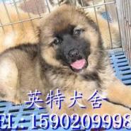 广州出售纯种高加索幼犬价格多少图片