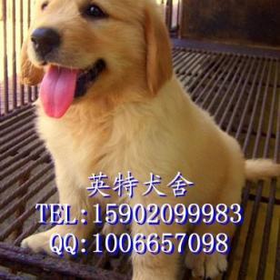 出售纯种金毛幼犬金毛寻回犬公母图片