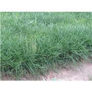 1米营养钵油松树苗图片