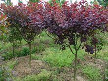 绿化苗木批发基地最好的绿化苗木辽宁绿化苗木
