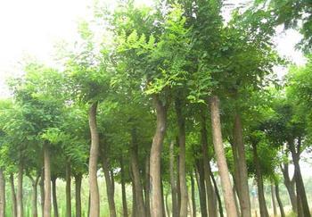 辽宁绿化苗木。河南绿化苗木。绿化苗木最新报价