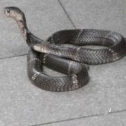 宠物蛇苗养殖批发野味眼镜蛇图片