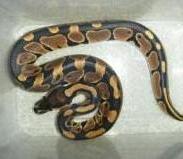 宠物蛇苗养殖批发野味球蟒图片