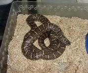 宠物蛇苗养殖批发野味宠物蛇图片