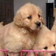 纯种金毛幼犬图片