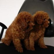 纯种泰迪犬幼犬图片