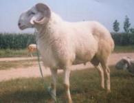 供应小尾寒羊供应山东中能养殖场15063711119批发