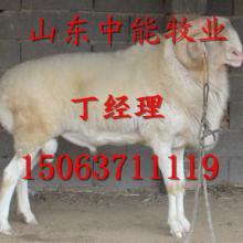 供应黑龙江佳木斯小尾寒羊养殖场15063711119批发
