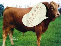 纯种鲁西黄牛图片