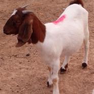 贵州铜仁波尔山羊价格图片