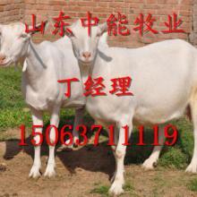 供应陕西渭南白山羊供应单位15063711119