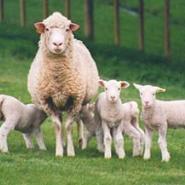 保定杜泊绵羊价格图片