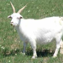 供应乌鲁木齐白山羊畜牧场15063711119
