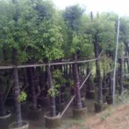 5公分香樟袋苗图片
