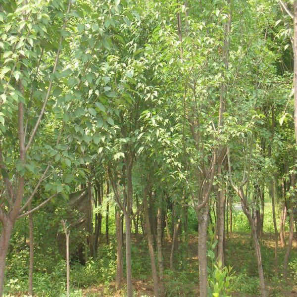 供应樱花树-风景树-日本樱花-白樱花-单樱-绿化树苗