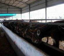 供应 江苏肉驴价格肉驴养殖技术驴舍建设视频批发